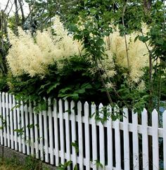 Goat's Beard (Aruncus dioicus) - in the rose family, related to spirea, but more like a giant astilbe - can grow to 6x6. Moist shade to part-shade. Back corner of the yard?