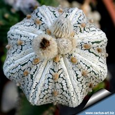 Image from http://www.cactus-art.biz/schede/ASTROPHYTUM/Astrophytum_asterias/Astrophytum_asterias_superkabuto_star_type/Superkabuto_star_shape_810.jpg.