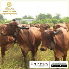 We are Pune's Milk Brand. Our milk is organic milk from desi cows. We deliver farm fresh organic vegetables at your doorstep in the morning. Cow Ghee, Milk Brands, Wild Forest, Organic Vegetables, Cows, Sunlight, Desi, Calves, Honey