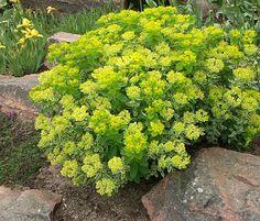 kan denna använas hos oss? Garden Plants, Herbs, Nature, Flowers, Buttercup, Outdoor, Gardens, Sun, Plants