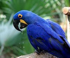 鸚鵡飼養  導導:事實上,鸚鵡的品種不同飼養重點就不同,甚至是同品種的鸚鵡,會有不同的飼養重點,這沒什麼好奇怪的,就像同是一家人,生活習性也不可能都一樣,但小編本編是整理,不同品種鸚鵡,會相同的飼養重點喔。