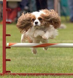One of the great things about watching a Cavalier King Charles Spaniel in agility is seeing THE EARS!