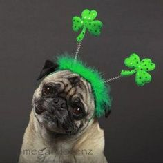 PetsLady's Pick: Funny Irish Pug Of The Day...see more at PetsLady.com -The FUN site for Animal Lovers