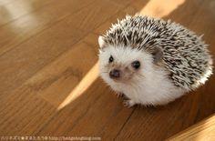"""Marutaro the Hedgehog"""