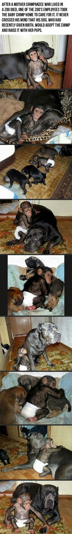 Dog adopts orphaned chimp