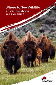 Discover the best places to see Yellowstone animals with these Yellowstone wildlife viewing tips. Use the Yellowstone wildlife map to see animals in Yellowstone National Park. Yellowstone National Park wildlife includes bears, bison, elk, and coyotes. These Yellowstone wildlife viewing tips are perfect for capturing Yellowstone wildlife photography. #yellowstone #yellowstonenp #yellowstonenationalpark #wildlife #nationalpark #idaho #montana #wyoming #us #usa #usatravel National Parks Map, Arcadia National Park, California National Parks, Grand Canyon National Park, Visit Yellowstone, Yellowstone National Park, Spotted Animals, Travel Usa, Travel Tips
