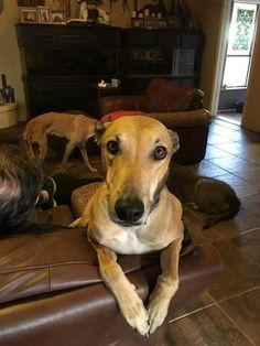 Look deep into my eyes.  Smokey is such a handsome hound! Get your handsome hound here - www.galtx.org.