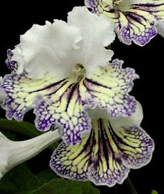 streptocarpus Valor - Arrived May 18th, 2016.   (Not available yet).