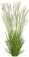 PSD l Calamagrostis