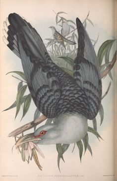 John Gould v.4 (1848) - The birds of Australia. - Biodiversity Heritage Library