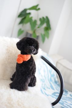 #toypoodle #blackpoodle #bluepoodle w/warm scarf ♥  #tonet #kashwere