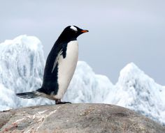 Photograph Gentoo Penguin by H Sinica on 500px