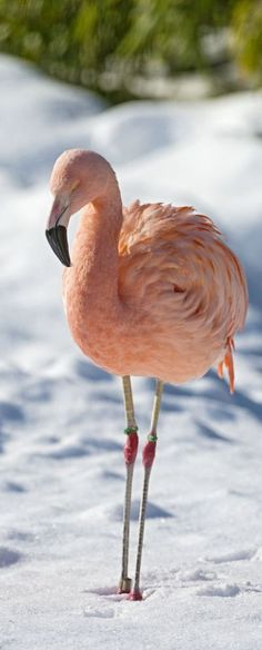 A pink flamingo in the snow