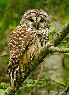 """Seeing this Barred Owl for the first time in the wild was the absolute highlight of this trip to Vancouver Island. I saw """"something"""" fly and then saw robins bothering him. He sat patiently for a few minutes allowing me to get this shot. Owl Pictures, Owl Pics, Tawny Owl, Beautiful Owl, Animals Beautiful, Owl Ornament, Ornaments, Barred Owl, Gray Owl"""