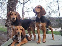 Bruno de Jura /  Bruno Jura hound / Jura Laufhund #Hunting #Dogs