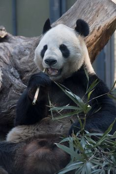 Animals And Pets, Cute Animals, Unique Animals, Bear Photos, Beautiful Creatures, Animals Beautiful, Animal Kingdom, Panda Bears, Zoos