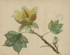Morel, Pierre. - Les Magnoliacées utiles et en particulier les Illicium