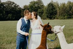 Summer wedding of Amanda and Alex with alpacas and lots of fun. Wedding at beautiful corner of Northumberland at a farm house. Summer Wedding, Wedding Inspiration, Animals, Beautiful, Animales, Animaux, Animal, Animais, Dieren