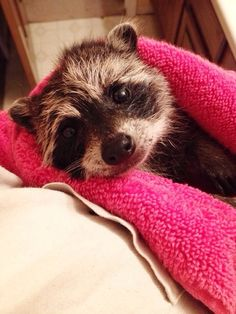This baby raccoon who just had her first bath time. More