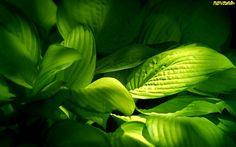 Leaves Green HD Widescreen Wallpaper Nature