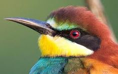 Image result for south african bee eater