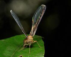 Long-winged Derbid Planthopper (Derbidae)
