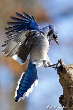 BLUE JAY in flight (Cyanocitta cristata) ©Jim Ridley The ...
