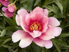 Transplanting Peonies | Types of Flowers with Pictures | HGTV