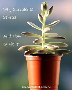 Succulent Growing Tall Stretched Learn all about why succulents stretch how to prevent it and how to fix it Pin now read laterLearn all about why succulents stretch how. Succulent Care, Succulent Gardening, Succulent Terrarium, Container Gardening, Indoor Gardening, Organic Gardening, Gardening Tips, Propagating Succulents, Cacti And Succulents