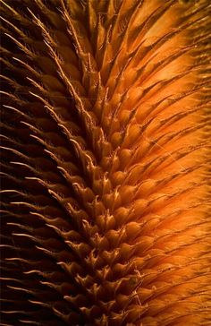Dried thistle