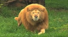 Zookeeper tosses soccer ball to bored lion in zoo He stuns everyone with his incredible skills. Reverse Sneezing In Dogs, The Lion Sleeps Tonight, Shelter Dogs, Animals For Kids, Soccer Ball, Big Cats, Funny Animals, Wild Animals, Adorable Animals