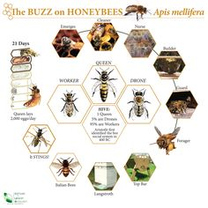 """Interesting honey bee chart.  The picture labeled """"it stings"""" shows a yellow jacket, not a honey bee, to help you know the difference."""