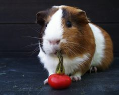 Guinea pigs, they may look cute, but they smell worse than actual pigs.