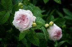'Félicité Parmentier' Alba hybrid rose