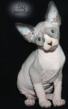 Hairless Sphynx Kittens Now Available. I want one terribly! Baby Animals, Cute Animals, Funny Animals, Sphinx Cat, Rex Cat, Cat Photography, Cute Cats And Kittens, Beautiful Cats, Cat Breeds
