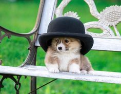 My hat is prettier than yours ... Recently, a young gentleman named Pugovkin came to visit us with his mother. While the adults were chatting over a cup of tea, he stole Karamelkin's hat and played quietly with her on the bench. #corgi # corgi #olympus #olympus_ru # omdem1 #dog #instadog # f4f # l4l #bulldogblogger # dog #russia # moscow # russia #vladivostok # vladivostok #vdk #vl # bulldog #spb # ussuriysk # puppy # instagramzveryat # bulldogbloger # puppy # Khabarovsk #corgistagram # ...