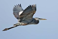 Great Blue Heron | Ardea herodias