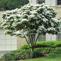 The Kousa Dogwood (Cornus kousa chinesis) is a deciduous tree with a specialized leaf system (bract), that creates a showy white appearance throughout the summer.  This tree would look stunning planted in small groupings along your home or as a focal point in your front yard.
