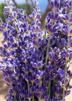 This is a fun project for the whole family -- grandma, mom & dad, and the kids -- and the sweet fragrance of lavender keeps us all in a good mood while we cut and bundle lavender, just like they have done in France for hundreds of years. Lavender Crafts, Lavender Garden, Lavender Blue, Lavender Fields, Lavender Flowers, Growing Lavender, Olive Oil Soap, Linen Spray, Lavander