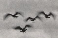 "Ernst Haas ""La Jolla Birds"", California, 1958."
