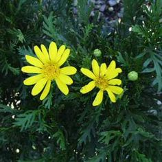 Euryops pectinatus 'Viridis' at San Marcos Growers