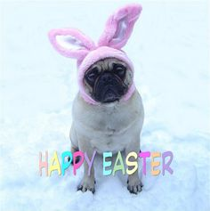 Funny Pug Dog Easter Bunny  Happy Easter!