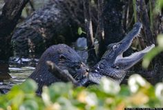 This otter in Florida attacked and ate a juvenile alligator.  Otters are apex predators.