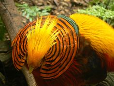 Golden Pheasant (chrysolophus pictus) _10_ Heads Up! A Golden Pheasant_    What a glorious bird! Magnificent colours!  The Golden Pheasant or Chinese Pheasant, (Chrysolophus pictus) is a gamebird of the order Galliformes (gallinaceous birds) and the family Phasianidae. It is native to forests in mountainous areas of western China but feral populations have been established in the United Kingdom and elsewhere.