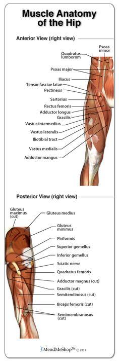 Muscle Anatomy of the Hip. #hipanatomy