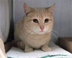 ***TO BE DESTROYED 03/30/17***  Timmy is one handsome kitty with a beautiful cream-colored tabby coat and adorable pink nose, but unfortunately he's quite tense in the shelter environment. This young guy would benefit from placement with a New Hope partner where his behavior can be further assessed in a more relaxing environment.  TIMMY NEEDS RESCUE BY NOON!!  CAME IN WITH NOONA – A1107065 WHO IS ALSO LISTED TONIGHT.