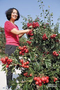 遼陽特產「山裡紅」,又名野山楂,每年5、6月開花,9至11月結果,小小紅紅的模樣不但討喜,又富營養價值,相傳清代遼陽著名才子王爾烈曾帶到北京當貢品,皇帝品嘗後大為讚賞。 過去遼陽人把山裡紅當水果吃,近年開發產品,包括果汁、酒、蜜餞等吃法,酸酸甜甜的滋味受到消費者喜愛。(圖文/王曉鈴)
