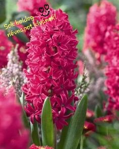 Heavenly scent and deep hot-pink color make this Hyacinth a world favorite. Jan Bos also boasts early, non-fading blooms paired with impressive performance in tough conditions. These mean instant garden excitement in spring! Hydroponic Growing, Hydroponic Gardening, Rare Flowers, Bulb Flowers, Hyacinth Flowers, Diy Hydroponik, American Meadows, Invasive Plants, Grow Lights