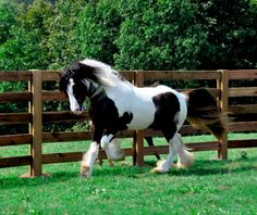 Winning Hand (Sale Pending) | Westmoreland Gypsy Vanner Horses For Sale