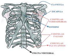 Ossos do torax e ossos escapulares Anatomy Study, Greys Anatomy, Forensic Anthropology, Body Study, Medical Art, Medical Students, Study Hard, Forensics, Student Life
